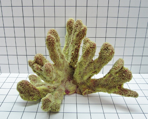 Large Cat's Paw Coral Decoration #715